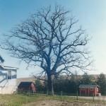 The Burr Oak