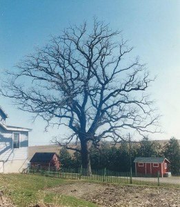 Burr Oak tree, leafless oak branches, picket fence, farm shed, branches, tree trunk,