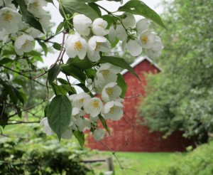 Mock Orange, Red Corn Crib, corn crib,