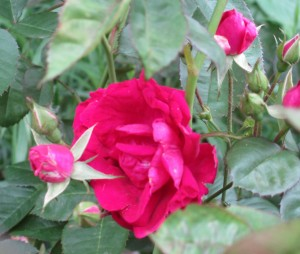 Old-Fashioned Red Rose,  Rose buds, red rose,