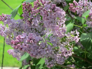 lilac, lilac flowers, purple lilac flowers,