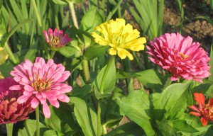 Yellow zinnia, Pink zinnias,