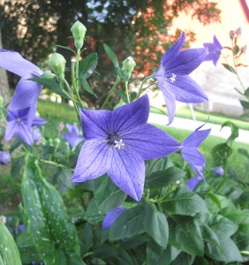 Blue Balloon Flower, Balloon flower in bloom, developing balloon flower buds,