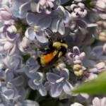 Lilac Reminisces
