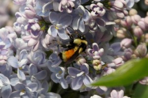 lilac, purple lilac, bee on lilac, bee on flower, bee,