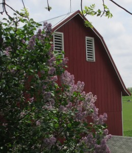 barn, red barn, lilac bush, lilac flowers, lilac, farm,
