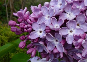 purple lilac, lilac flower, lilac,
