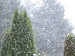 evergreens, snowstorm, winterscape, winter storm,