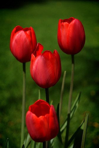 tulips in garden, red tulips,