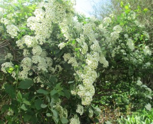 Spirea, Flowering bush,