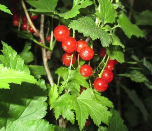ripe currants, currant berries, currants on plant,
