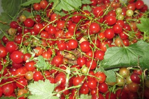 currants, pail of currants, currants for making Jelly,