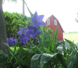 Balloon flowers, Barn,