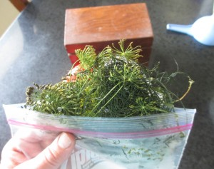 Dill from the Freezer, Frozen dill,