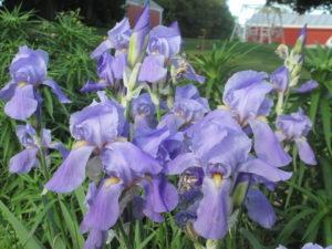 irises in garden,