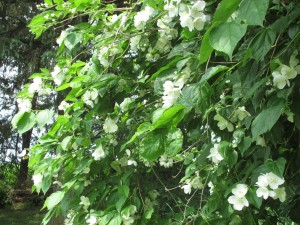 mock orange, Mock orange bush in bloom,