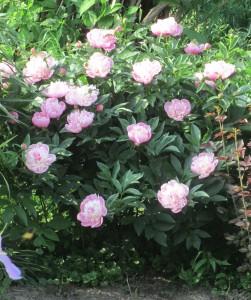 peony,  peony pink, peony full bloom, peony bush,