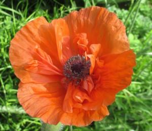 poppy, orange poppy,