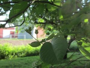 saskatoon berries, saskatoon berries immature, saskatoon berries green,