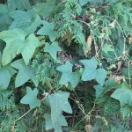 Pesty Plant-Wild Cucumber