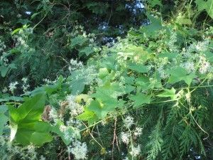 wild cucumber vine, wild cucumber in bloom,