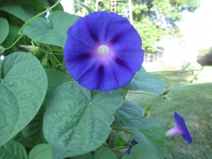 morning glory, vine,