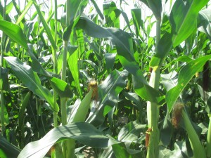 corn plants, corn in the field, field corn, green field corn,
