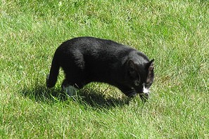 cat hunting, cat in grass, black and white cat,