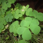 Renovating My Shamrock