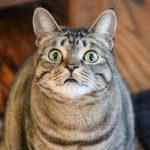 Tabby cat, cat face, cat ears,