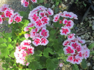Geraniums, Pink and white geraniums,