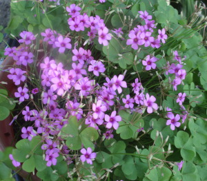 Pink shamrocks, Potted Shamrocks, shamrocks,