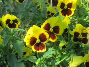 Pansies, Yellow Pansies, Annual Flowers,IMG_0040