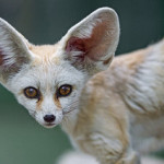 big ears, fennec,