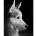 ears, dog, dog face, dog profile, husky,