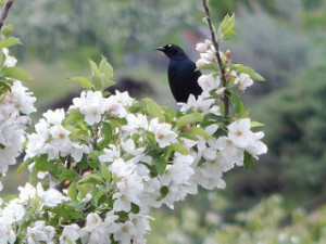 Bird on twig, pear blossoms,