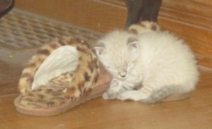 Kitten, white kitten, kitten and slipper, bedroom slipper,