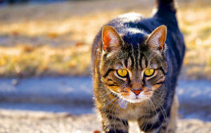 tabby cat, cat, cat hunting