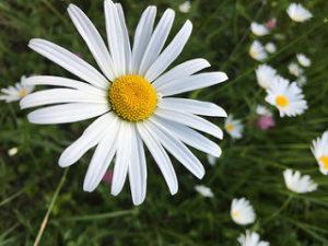 single flower, daisy, white daisy,