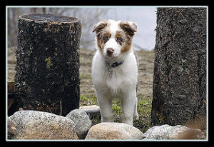 blue heeler, stumps, rocks,